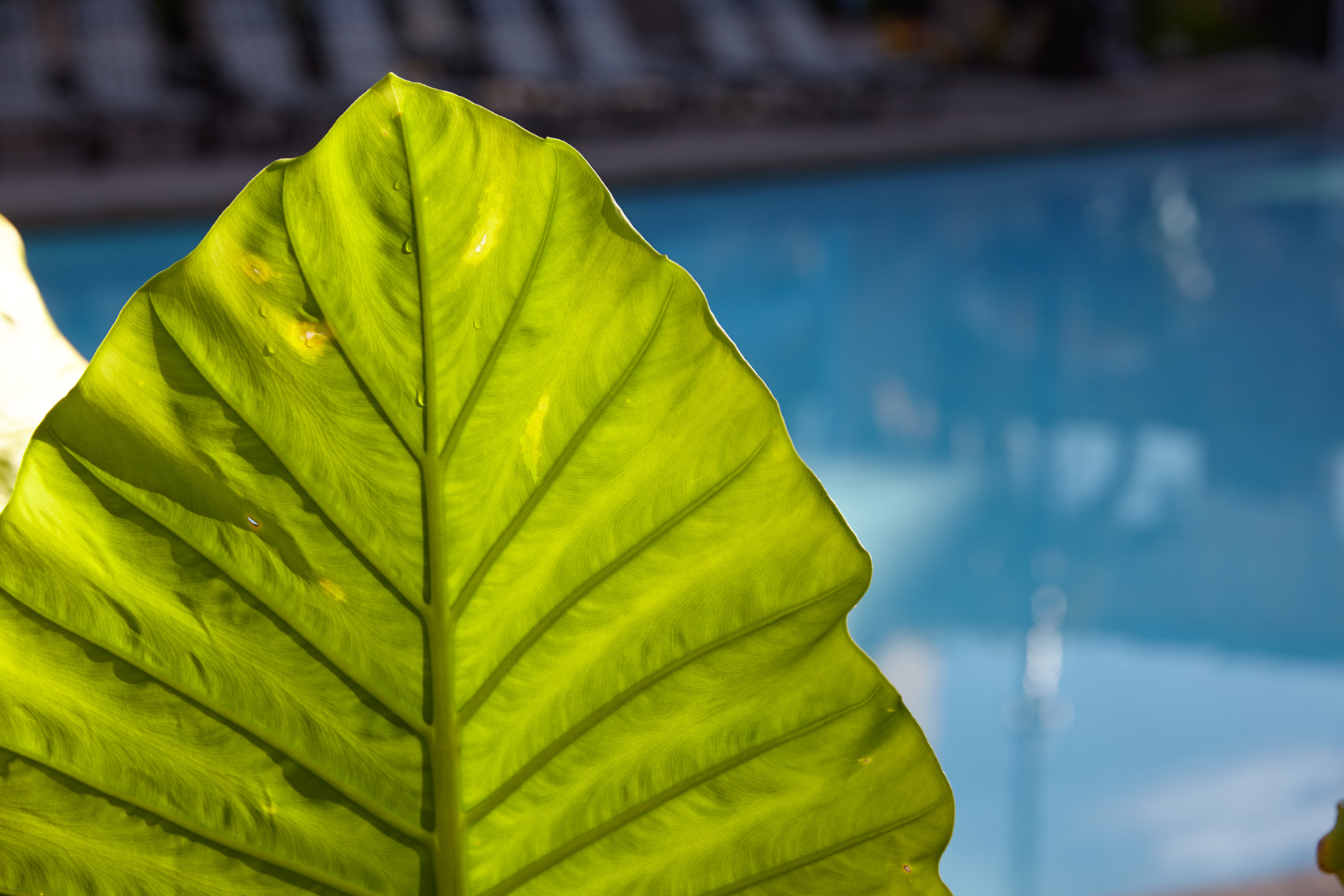 Large green leaf backlit by sun against rich blue pool