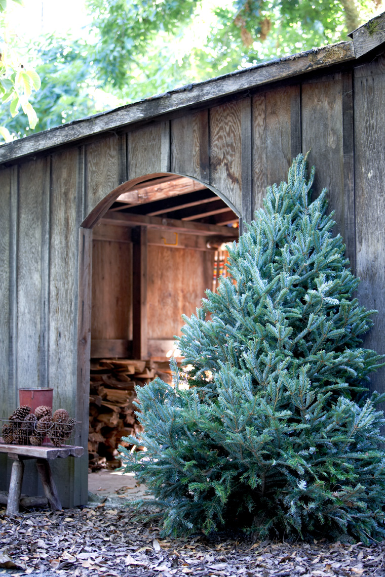 Evergreen holiday tree leaning against old barn in winter